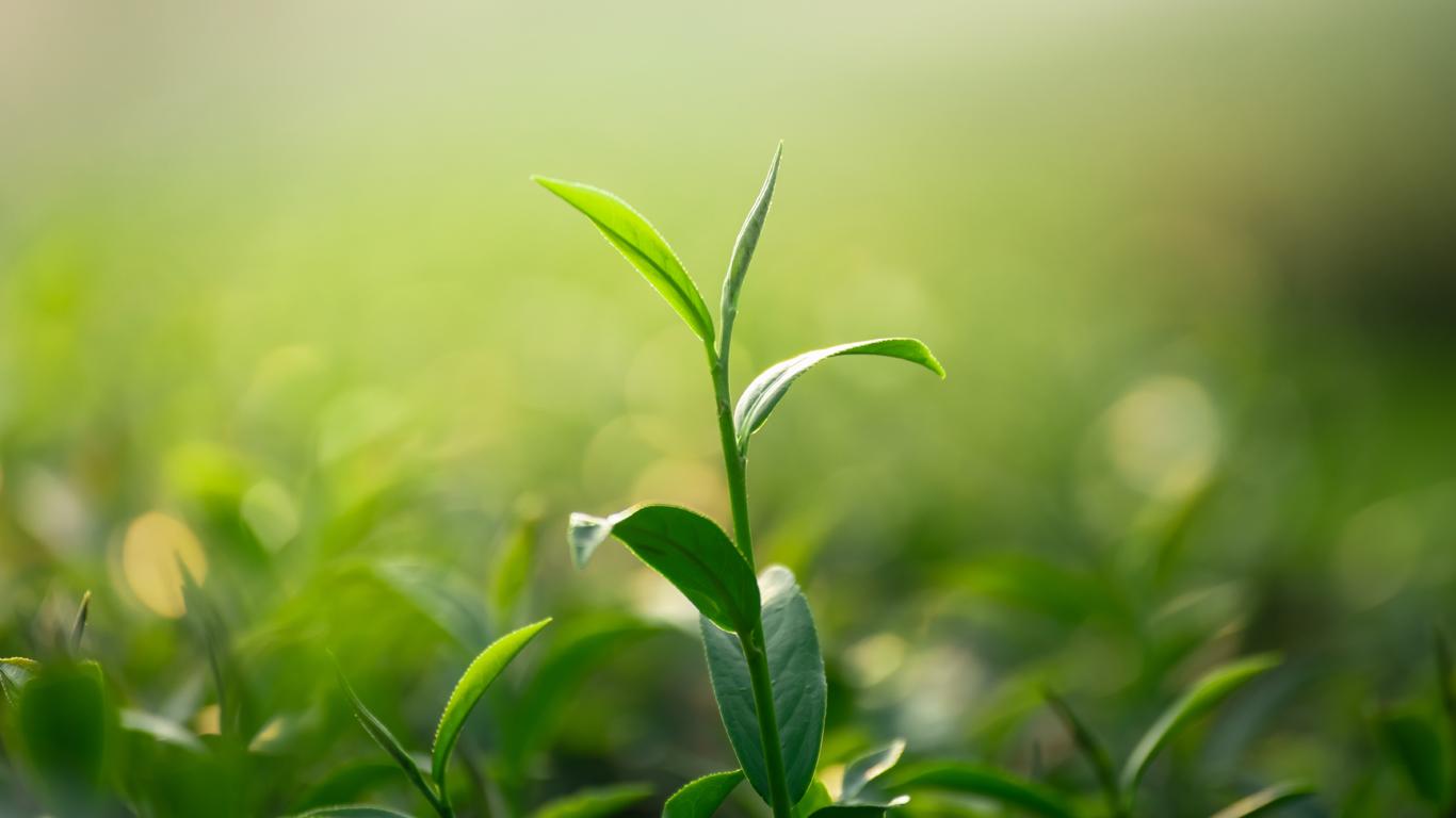 moringa-Blätter-in-der-Sonne